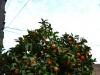 valencia_oranges